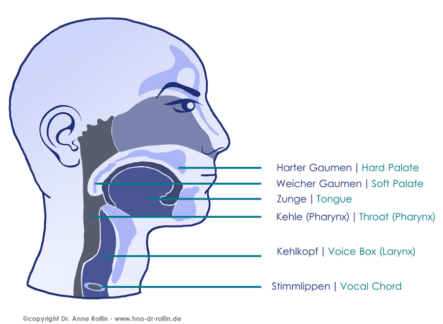 HNO Ärztin Dr. Rollin - Anatomy of the Nose and Throat